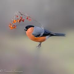 camachuelo macho (barragan1941) Tags: aves camachuelomacho cremenes2018 fauna pajaros birds