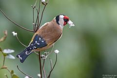 Goldfinch, Carduelis carduelis (Kevin B Agar) Tags: britishbirds cardueliscarduelis garden goldfinch