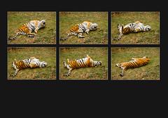 Amur Tiger Panel (S.R.Murphy) Tags: amurtiger tiger animal panel mosaic photomosaics polyptych fujifilmxt2 fujifilmxf55200mm lightroom stuartmurphy inexplore flickrexplore12012018
