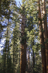 Giants V (rschnaible (Not posting but enjoying your posts)) Tags: sequoia national park us usa west western california sierra nevada mountains giant tree botanical forest