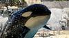 Force & Puissance (orcamel30) Tags: orque marineland orca epaulard shamu keijo jump reverence saut water orcamel30 reflex nikon d7100 55300