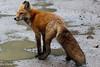 Red Fox (Sue D Sharpe) Tags: redfox fox woods running algonquinpark ontario
