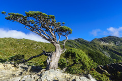 向陽名樹+向陽山 3602m (SU QING YUAN) Tags: landscape landmark tree trees forest sky blue bluesky green mountain hiking a77m2 1680za variosonnartdt35451680 sony