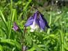CKuchem-5907 (christine_kuchem) Tags: akelei blüte blüten garten insekten nahrung natur naturgarten nektar pflanze privatgarten schatten schattengarten selbstaussaat sommer wildpflanze blau lila naturnah natürlich wild zweifarbig