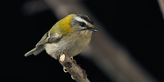 Reyezuelo listado (coverkill) Tags: aves navarra jardín naturaleza nature