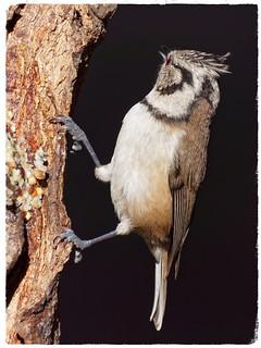 Mallerenga emplomallada - Herrerillo capuchino - European crested tit - Lophophanes cristatus