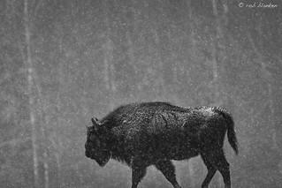 European Bison (Bison bonasus, wisent) (1)