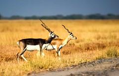 Blackbuck Velavadar, gujarat (gupta.pulkit20) Tags: blackbuck gujrat wildlife nature animals sanctuaryasia velavadar nationalpark