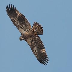 Bald Eagle Aquila chrysaetos (- the way I see it -) Tags: bald eagle aquila chrysaetos elizabeth hartwell mason neck national wildlife refuge fairfax county virginia usa