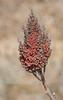 drought dry bush (Pejasar) Tags: bush dry berries seed drought tulsa oklahoma nikon d7200