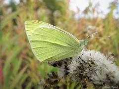 Butterfly 1606 (+1000000 views!) Tags: butterfly borboleta farfalla mariposa papillon schmetterling فراشة