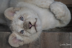 DSC_2095-1 (Linda Smit Wildlife Impressions) Tags: african white lion lioness lioncubs cubs wildlife endangered cats bigcats nature animal carnivore cecil photography nikon d750 big cat mammal zoo damnéville amnéville