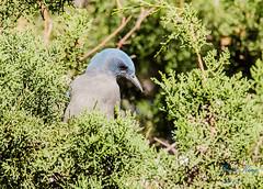 Mexican Jay (dbking2162) Tags: birds bird nature nationalgeographic blue green outside trees beautiful beauty jay maderacanyon arizona mexican mexicanjay