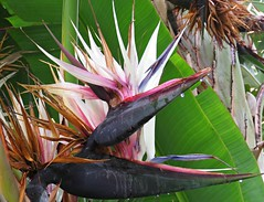 White Bird Of Paradise! ('cosmicgirl1960' NEW CANON CAMERA) Tags: flowers worldflowers tropical exotic flora gardens parks sanpedro costadelsol spain espana andalusia yabbadabbadoo travel holidays nature green