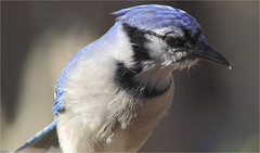 Cyanocitta Cristata (ioensis) Tags: bird 45430001b©johnlangholz2018 cyanocitta cristata bluejay portrait jdl ioensis february 2018 webstergroves missouri mo