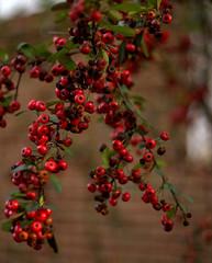 _MG_3212.CR2 (jalexartis) Tags: winter winterberries pyracantha firethorn firethornpyracantha pyracanthaberries lighting