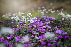 Snowdrops and Cyclamens (Jacky Parker Flower Photography) Tags: cyclamens snowdrops galanthusnivalis springflowers spring2018 flowers white pink beautyinnature freshness fragility garden hazysunshine horizontalformat nopeople floralart inflower inbloom colourimage outdoors wildflowers
