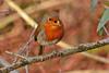 Robin (Gaz-zee-boh) Tags: robin robinredbreast naturewatcher nature londonnature erithacusrubecula red bird avian almostanything nikond7k urbannature london n7 bokeh