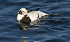 Recline (Slow Turning) Tags: clangulahyemalis longtailedduck male bird swimming water lake preening winter southernontario canada