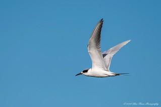 Forster's Tern ©