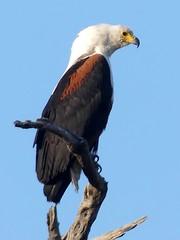 fish eagle, Chobe