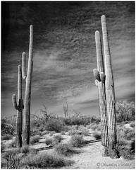 - Gateway Into the Desert - (claudiov958) Tags: arizona biancoenero blackwhite blancoynegro cactus černýabílý claudiovaldés czarnyibiały nikkor28mmf28 nikond800e noiretblanc pretoebranco saguaro schwarzundweiss черноеибелое landscape ngc desert sonorandesert