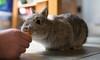 Nibbling a treat (R M Photography) Tags: nikon sigma sigma1835mmf18 sigma1835f18 d3300 rabbit bunny cute netherlanddwarfrabbit netherlanddwarf