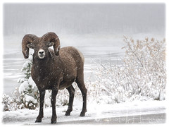 I used to be Snow White but I drifted (PhotoArt Images) Tags: bighornsheep canada jasper photoartimages snow snowing