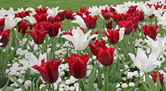 Spring follows winter... repeat aloud! (wessexman...(Mike)) Tags: infocus highquality butchartgardens tulips vancouverisland victoriabc