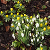 2018_02_0010 (petermit2) Tags: snowdrop snowdrops winteraconite aconite brodsworthhall brodsworth doncaster southyorkshire englishheritage garden gardens heritage heritagegarden
