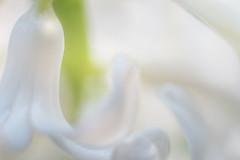small flower of a hyacinth (Jeannette Maandag) Tags: flower macro closeup nikon extensiontubes highkey explore dof fragile