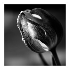 Tulipe N/B (sosivov) Tags: blackandwhite tulip macro flower frame square squareformat