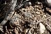 Haworthia arachnoidea var. setata (Asphodelaceae) (yakovlev.alexey) Tags: southafrica calitzdorp asphodelaceae