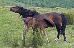 Dartmoor Mare and Foal 01 (Cornishcarolin. Stupid busy!! xx) Tags: devon httpwwwdartmoorgovuk ponies animals mammals landscape nature grass foals feedingfoal 1001nights wonderfulhorses 1001nightsmagiccity