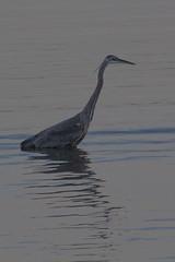 IMG_2692 (armadil) Tags: mavericks beach beaches californiabeaches bird birds heron blueheron greatblueheron
