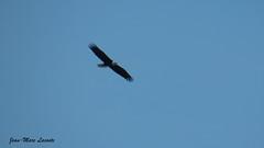Pygargue à tête blanche, 19 février 2018 ------------ Bald Eagle (lacostejm) Tags: zoneimportantespourlaconservationdesoiseaux refugedoiseauxmigrateurs rom zicoqc128 zico zicoquébec refuged'oiseauxmigrateurs refugedoiseauxmigrateursdelîleauxhérons fleuvestlaurent rapidesdelachine secteurdoiseauxmigrateurs lasalle migrationbirdsanctury naturequébec migratorybirdsconventionact loide1994surlaconventionconcernantlesoiseauxmigrateurs lanatureenville héritagelaurentien amisduparcdesrapides verdun bergesdustlaurent lefleuvesaintlaurentungéantfragile pygargueàtêteblanche baldeagle haliaeetusleucocephalus