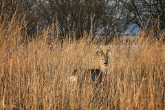 Camouflage (Thijs de Bruin) Tags: ree roe riet reed
