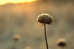 courage (joy.jordan) Tags: texture frost sunrise light bokeh winter simplicity seedhead dormancy