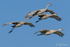 Sandhill Cranes in flight – 5 (Roy Prasad) Tags: crane bird migration migrating sandhill prasad royprasad lodi california travel water nature sony a7rm3 flight bif sky tree