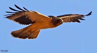 Booted eagle at santa agueda Jan 2018