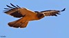 Booted eagle at santa agueda Jan 2018 (Ted Humphreys Nature) Tags: booted eagle eagles raptors birdsofprey spain tedhumphreysnature