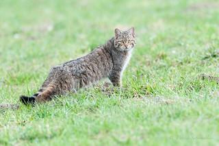 Chat forestier - Felis silvestris silvestris