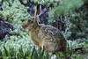 Liebre (hyperkinetiko) Tags: liebre conejo mamifero