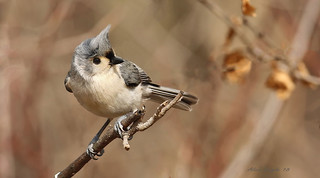 Mésange bicolore  \  Tufted Titmouse