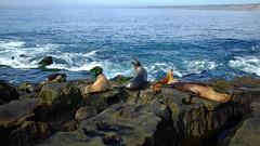 Navy Seals (Shawn Phelps) Tags: sandiegobeachsealssealoceanpacificshoreanimalslounging san diego seals pacific coast beach rocks