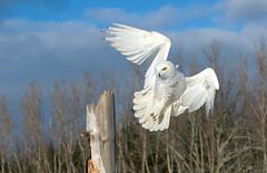 snowy owl jan 14 2018 (Mel Diotte) Tags: snowy owl flight landing white raptor