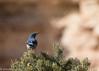 Scrub Jay (camillelore) Tags: grandcanyon bluebird