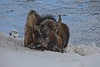Sleeping by the River - Yellowstone  _ Feb 2018 - 1 - lo res (O'Keene) Tags: bison buffalo yellowstone snow