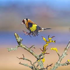 Landing gear down _ Goldfinch (Margaret S.S) Tags: inflight european goldfinch