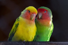 Two Rosy-faced lovebirds in love (Nemanja Zotovic PHOTOGRAPHY) Tags: nature colorful outdoor beautiful psittaculidae cute environment head peachfacedlovebird eyes bird wildlife namibdesert rosycollared female agapornisroseicollis africa exotic photography habitat horizontal beak spacefortext animal male feather perched wild ecology posing portrait bokeh lovebird psittaciformes avian closeup red aves green background birdportrait wing birdwatching rosyfaced two love parrots yellow couple black